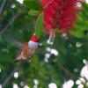 Rufus Hummingbird(Male)