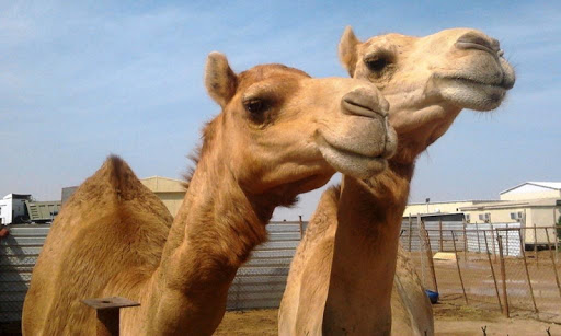 Funny Camels Wallpaper Images