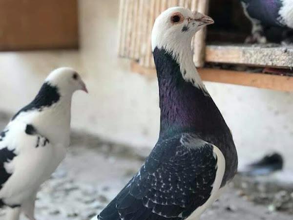 racing homer pigeon sales