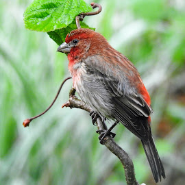 Male House Finch by Kathy Woods Booth - Animals Birds ( bird shots, bird, songbird, perched, perch, finch )