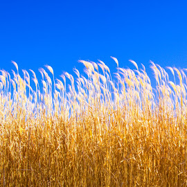 Gold by Jennifer  Loper  - Nature Up Close Leaves & Grasses ( feathery, blue sky, golden )