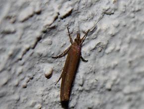 Photo: Ypsolopha ustella  Lepidoptera > Ypsolophidae