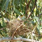 Yellow-throated Miner (nest)