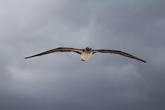 Photo: Blue-footed booby in flight.