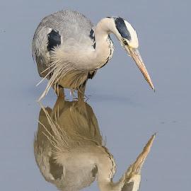 Heron by Dirk Luus - Animals Birds ( water, mirror, bird, heron, animal )