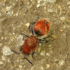 Velvet ant (Wasp)