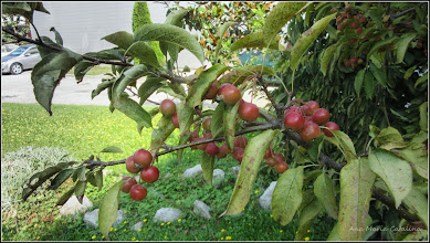 Photo: Măr ornamental - (Malus spp) - din Piata 1 Decembrie 1918, spatiu verde - 2016.09.10