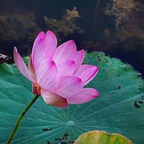 Water Lily by I Snapit - Flowers Flowers in the Wild (  )