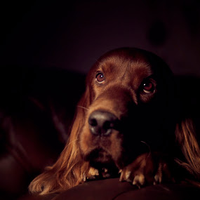 When you wish upon a star, Anything your heart desires will come to you. by Ken Jarvis - Animals - Dogs Portraits ( studio, irish setter, dog portrait, irish, dog )