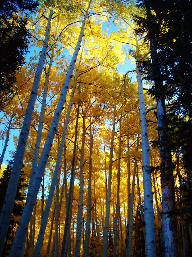 tall trees with fall color by Laurie DeMent - Landscapes Forests ( aspen leaves, aspen leaf, aspen trees, fall colors, foliage, fall, colorado, trees,  )