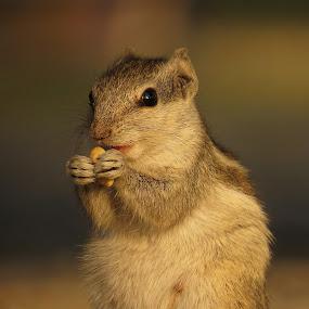 Little hands by Akbar Ali Asif - Animals Other Mammals ( lunch time, animals, little mamals, nature, squirrels, cute animals, little hands, closeup,  )