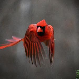 cardinal_pe.jpg