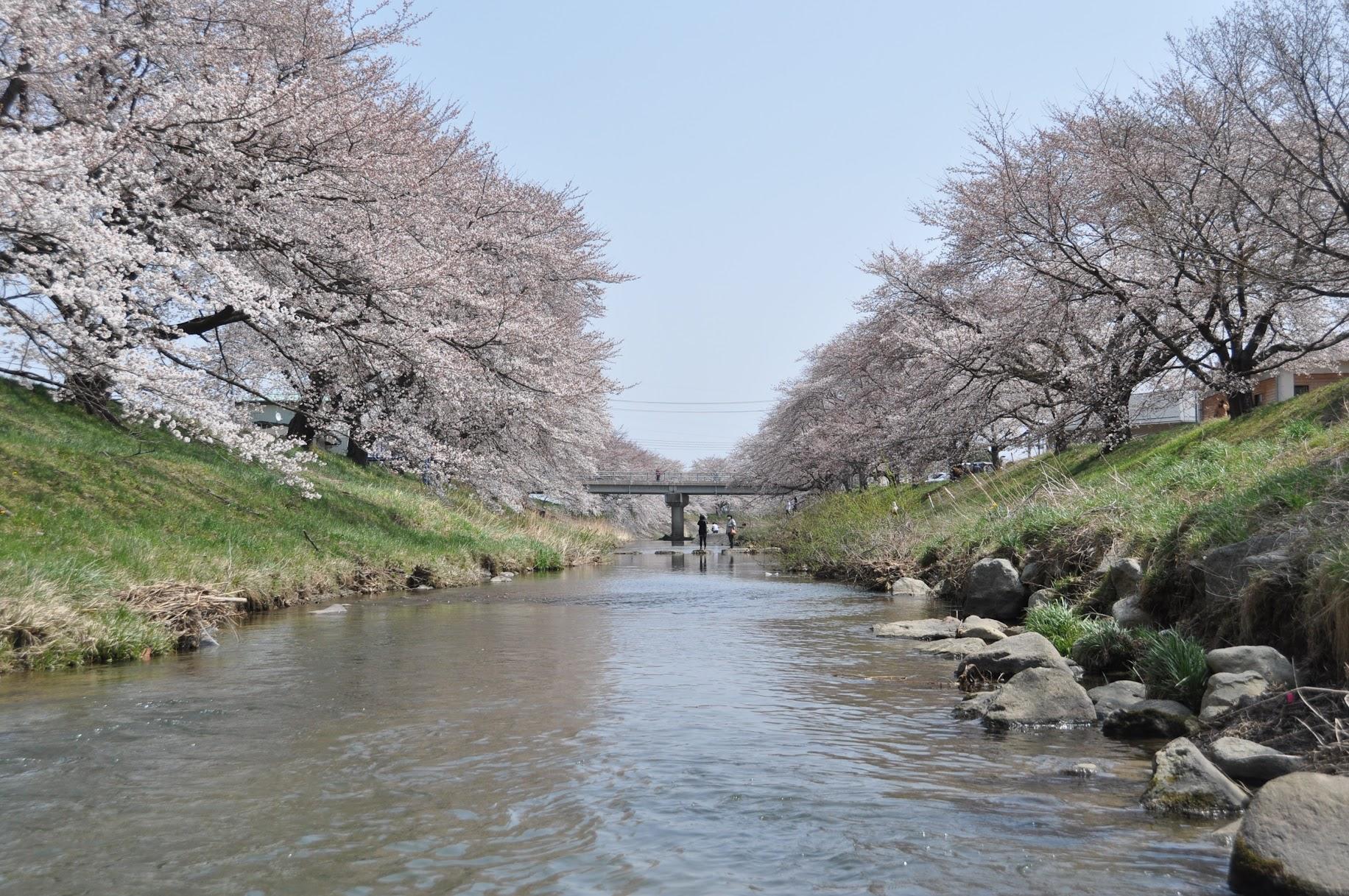 藤田川の桜 | 郡山の桜の名所 お出かけスポット