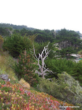 Photo: Ghost Tree along Big Sur coast