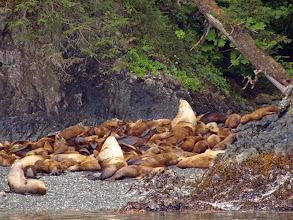 Photo: Stellar Sea Lion Rookery