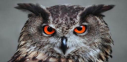 Owl Wallpaper 4k Aplicaciones En Google Play
