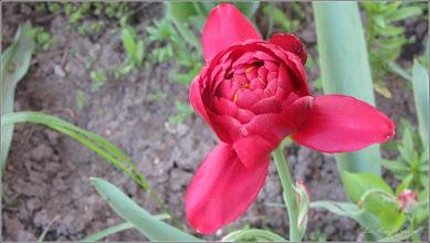 Photo: Lalele (Tulipa) din Turda, Aleea Plopilor - 2018.04.23