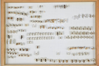 Photo: ZSM-HD-0001480 Symphyta, Syrphidae, Coleoptera, various Ichneumonidae
