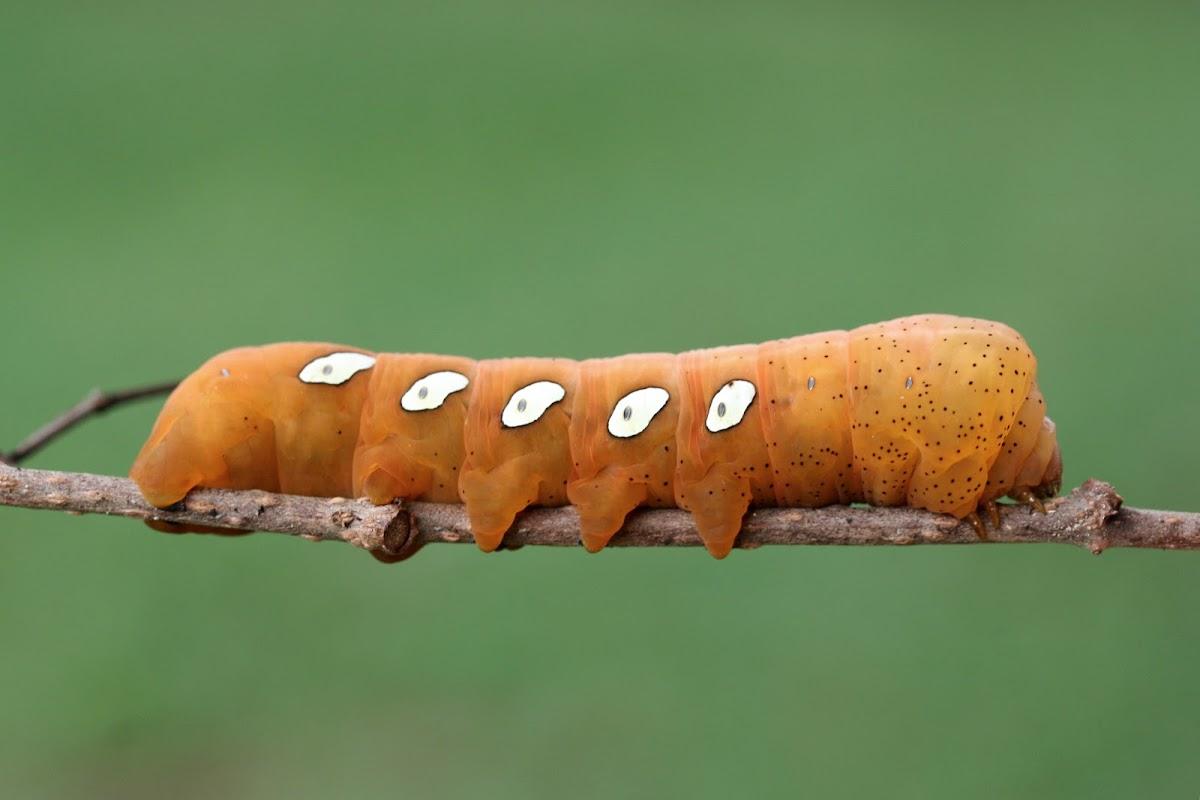 Pandora Sphinx Larva