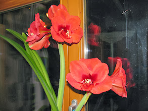 Photo: The amaryllis we got from Louis and Conny on our houswarming. Still going strong after 6 years!