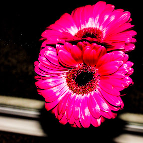 Duplicate by Raymond Fitzgerald - Flowers Single Flower ( close up, mirror, pink, photo, flower )