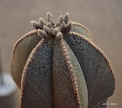 Photo: top of Astrophytum myriostgma