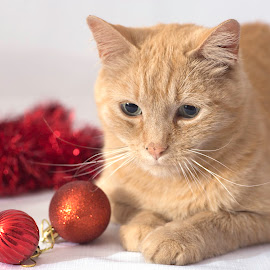 Christmas is here. by Susan Pretorius - Animals - Cats Portraits