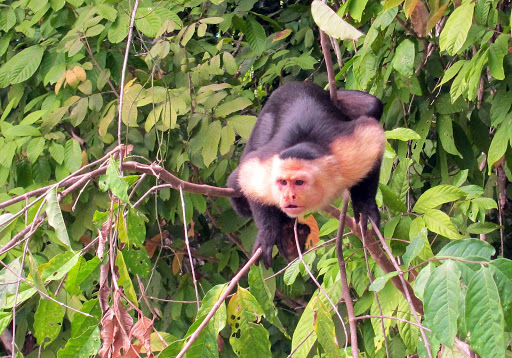 Panama-Capuchin-2 - A capuchin monkey spotted in the wild in Panama.