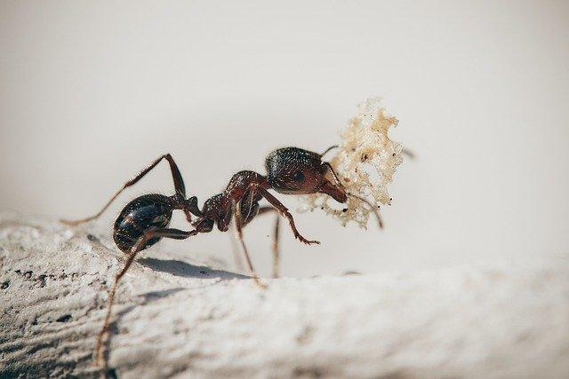 An ant carrying food.