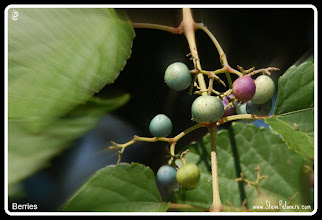"""Photo: A to Z  2011-08-30 Week 2 - Day 10  Tuesday's """"B"""" """"Berries"""""""