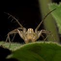 Lynx Spider Male