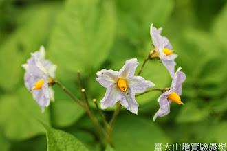 Photo: 拍攝地點: 梅峰-一平臺 拍攝植物: 馬鈴薯 拍攝日期: 2014_07_04_FY