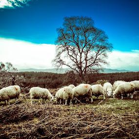 Field ,meadow , sheep ,scotland ,uk by Morag Soszka - Landscapes Prairies, Meadows & Fields