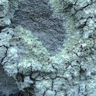 Bloodspot Lichen