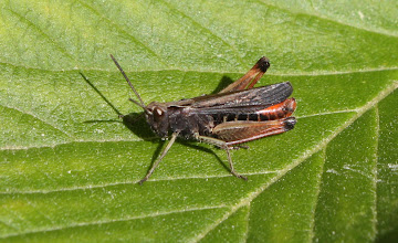 Photo: Omocestus rufipes