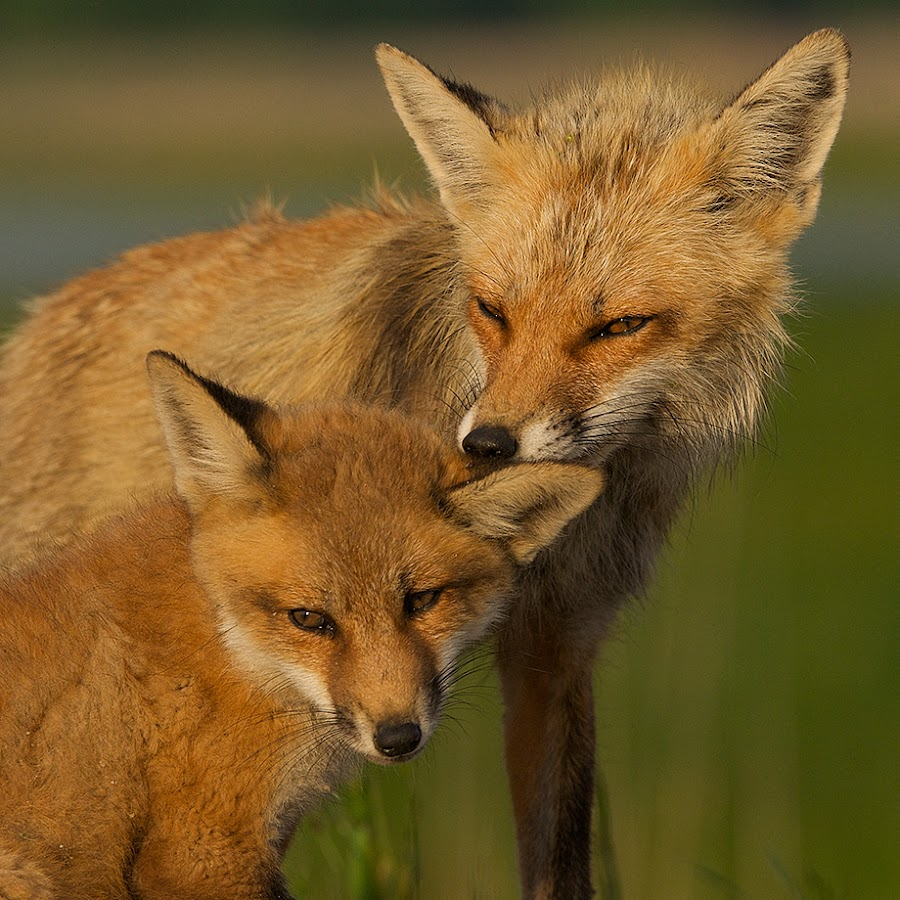 Red Fox Mother and Pup by Sean Crane - Animals Other Mammals