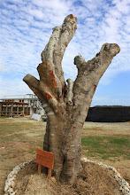 Photo: 樹齢百年のガジュマル