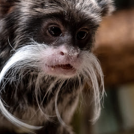 Mr Mustache by Joan Sharp - Animals Other Mammals ( small, face, monkey, white, black, grey,  )