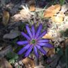 Ten-petal thimbleweed or Ten-petaled anemone