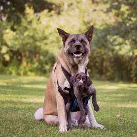 Just Hanging Out With My Dawg by Ali Platt - Animals - Dogs Portraits ( akita, opposites, best friends, german shorthaired pointer, cute, american akita )