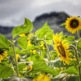 Sun Flower farm  by Michael Guerrero - Flowers Flowers in the Wild ( sunflowers, summer, sunshine, oahu, hawaii )