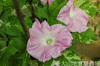 Photo: 拍攝地點: 春陽-可愛植物區 拍攝植物: 日本朝顏 春之光 拍攝日期:2013_07_02_FY