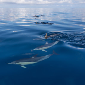 New Zealand Common Dolphins by Mikey Mackinven - Animals Other Mammals ( water, dolphin, clear, hauraki gulf, sea, ocean, crystal, mammal, new zealand )