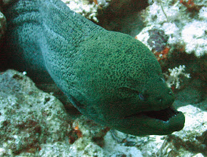 Photo: Moray eel (Muraenidae) 4m long  Although they look dangerous - especially when they gape - they do that to pass water over their gills