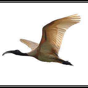 In Flight - Black Headed Ibis  by Sourav Tripathi - Animals Birds