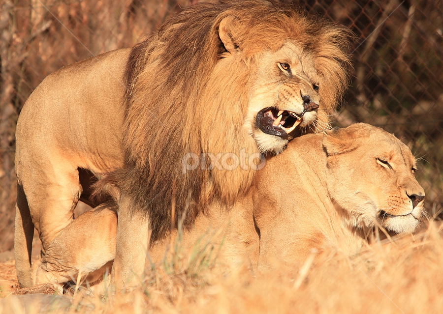 by David Moffatt - Animals Lions, Tigers & Big Cats