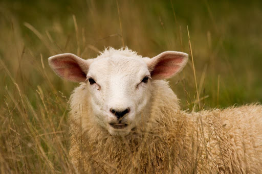Funny Sheep Wallpapers HD FREE