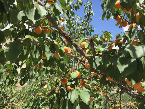 Machollo: A Traditional Pakistani Village in Baltistan Hushe Valley // Apricot trees heavy with ripe fruits