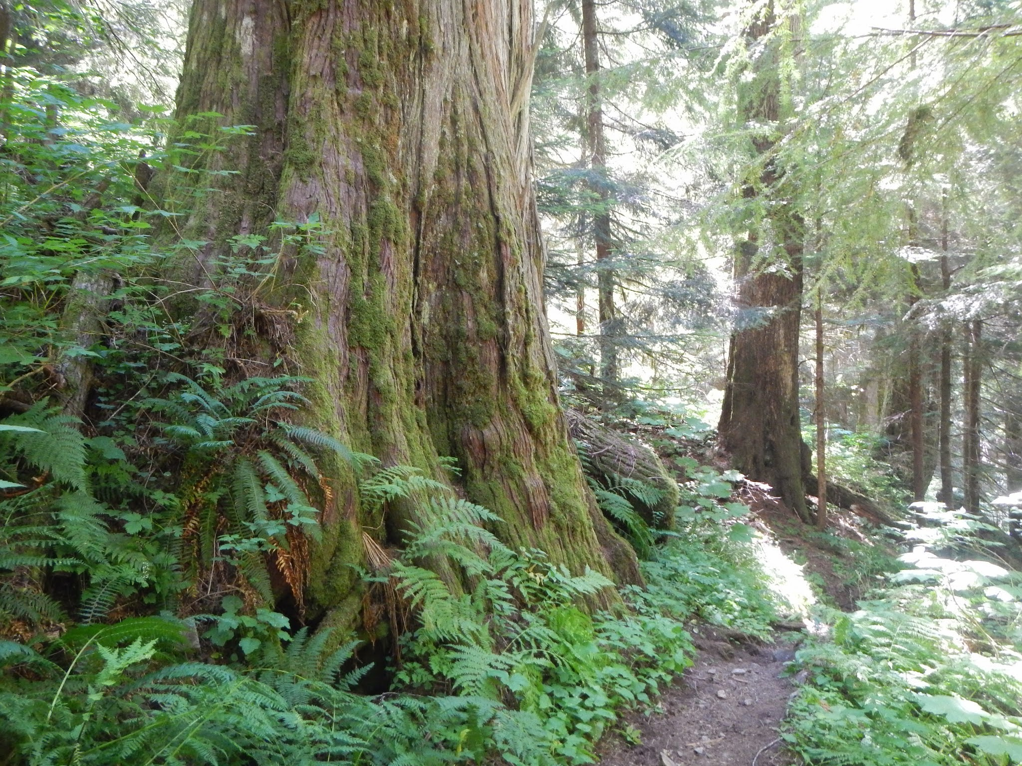 Photo: Huge old-growth trees on the North Fork Sauk trail