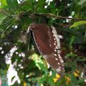Great eggfly or jacintha eggfly ♀️